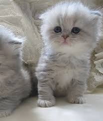 British Shorthair Pedigree Kittens