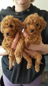 Outgoing Toy Poodle Puppies Available for sale