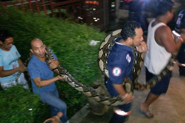 Monster Phuket python caught, decade record set | The Thaiger