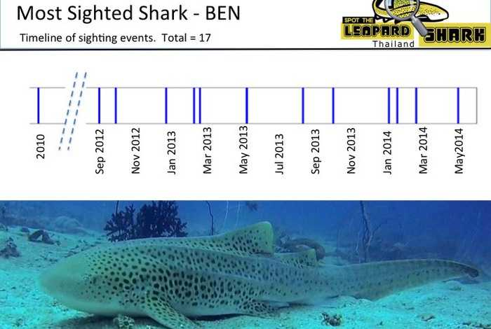 Phuket learns: database swimming with leopard sharks [video] | Thaiger