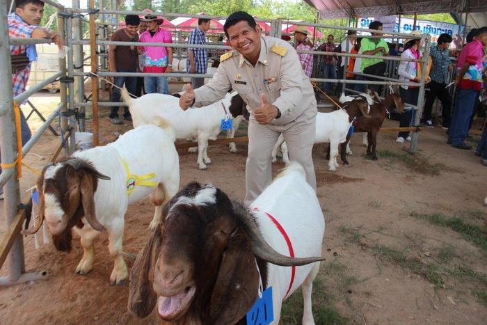 Video Report: Phuket farmers gearing up for National Goat Fair | Thaiger