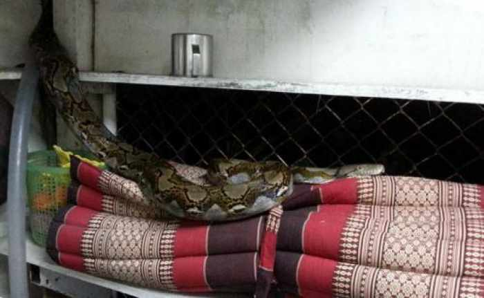 Phuket Town woman surprised by slithering squatter… again | Thaiger