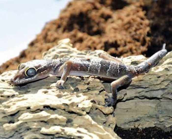New species of gecko in Phuket not so new | Thaiger