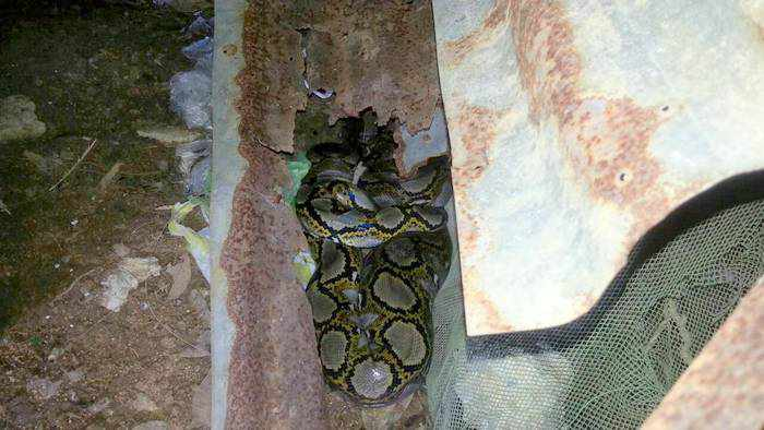 Big snake caught choking the chicken in Phuket | Thaiger