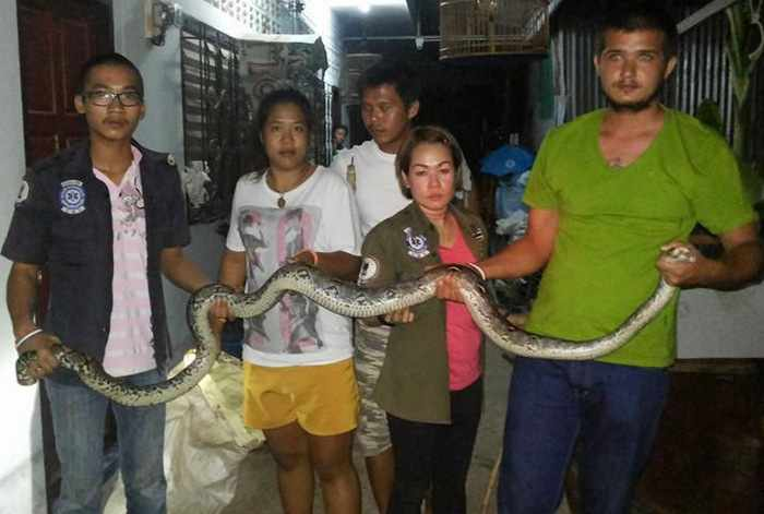 Slithering World Cup spectator makes unwelcome appearance in Phuket   Thaiger