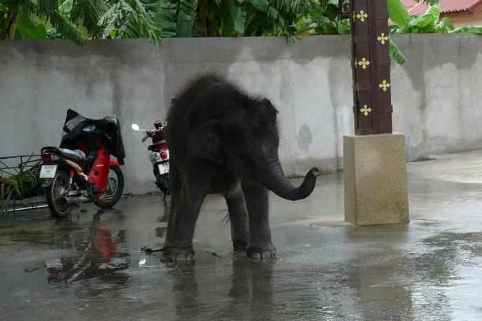 Livestock officials implore Phuket police to investigate baby elephant owner | The Thaiger