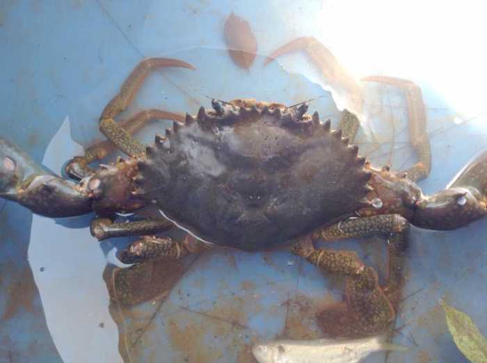 Giant crab nips at Krabi villagers' emotions | The Thaiger