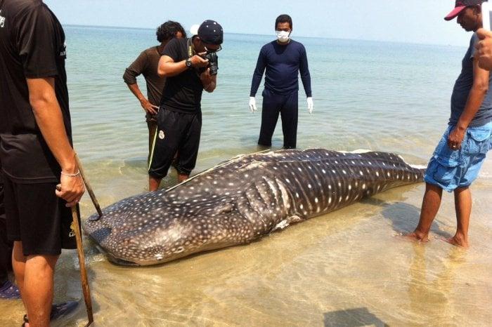 Fishing net suspected of killing whale shark near Phuket | Thaiger