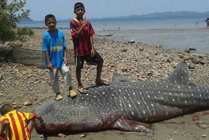 Whale shark's fins stolen by villagers postmortem, say experts | Thaiger