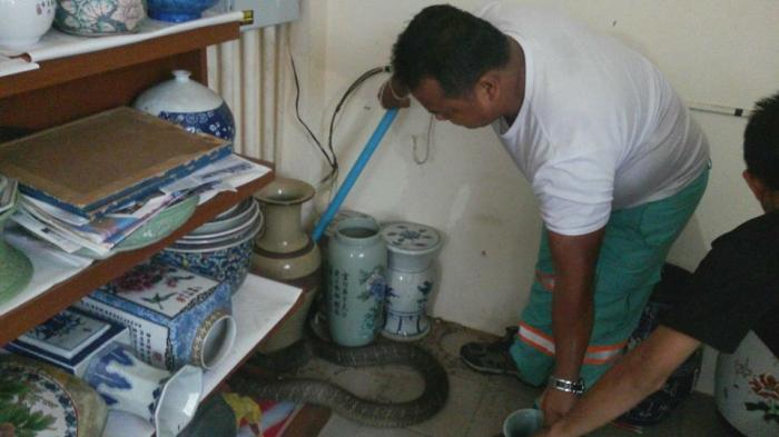 Cobra captured in Chalong home | The Thaiger