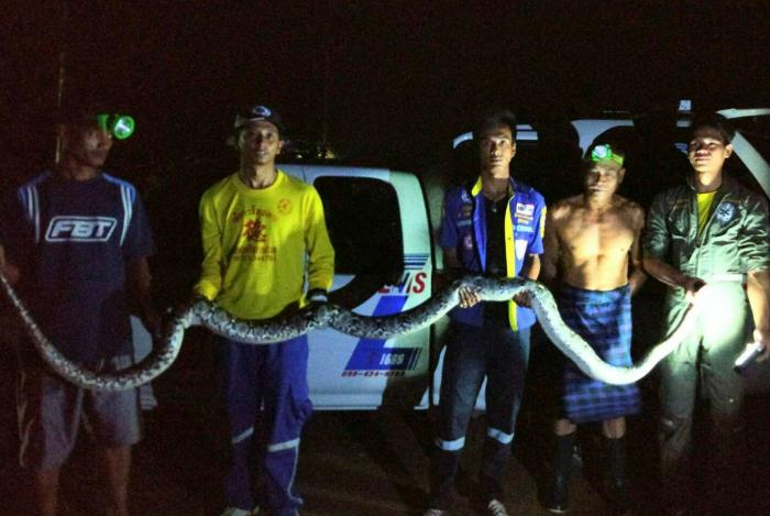 Poultry pilferer turns out to be six-meter python | The Thaiger