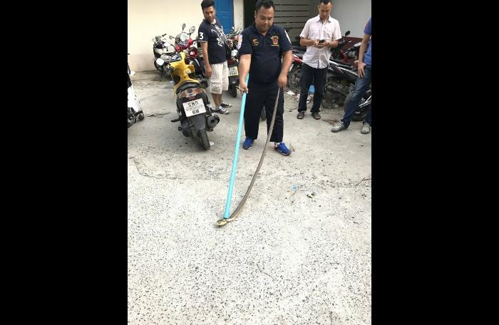 More snakes at Patong Police Station   The Thaiger