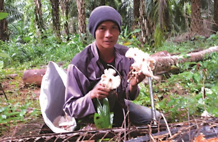 Seasonal mushroom picking turns profits | The Thaiger