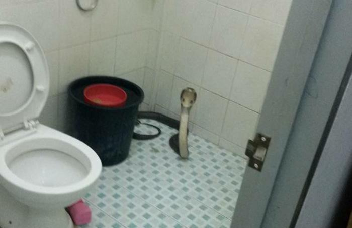 Cobra takes stand in Phuket bathroom | The Thaiger