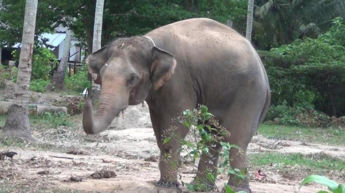 Enraged elephant kills mahout at trekking camp | The Thaiger