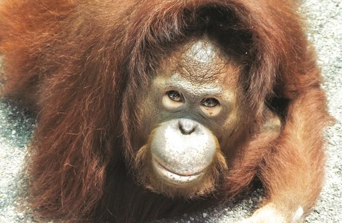 Video Report: Orangutan saved, new laws needed | The Thaiger