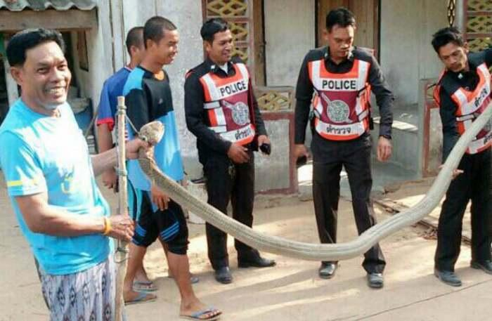 YouTube video helps nab 30kg king cobra | The Thaiger