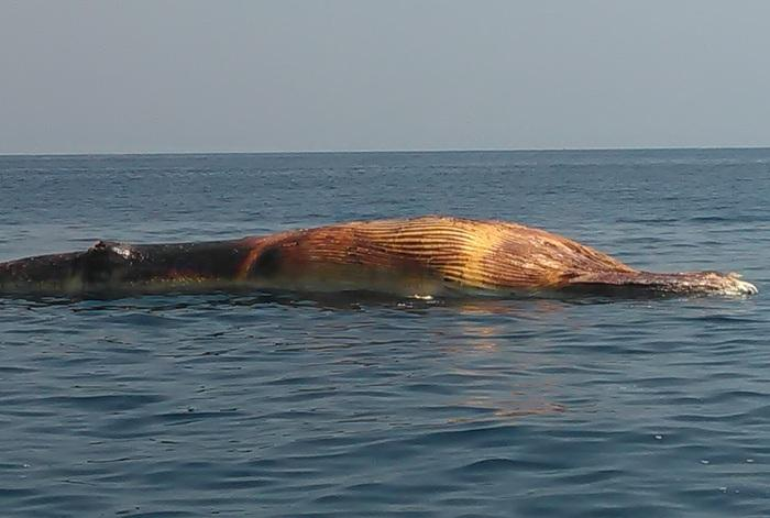 Officers hunt for dead whale in Similan National Park | The Thaiger