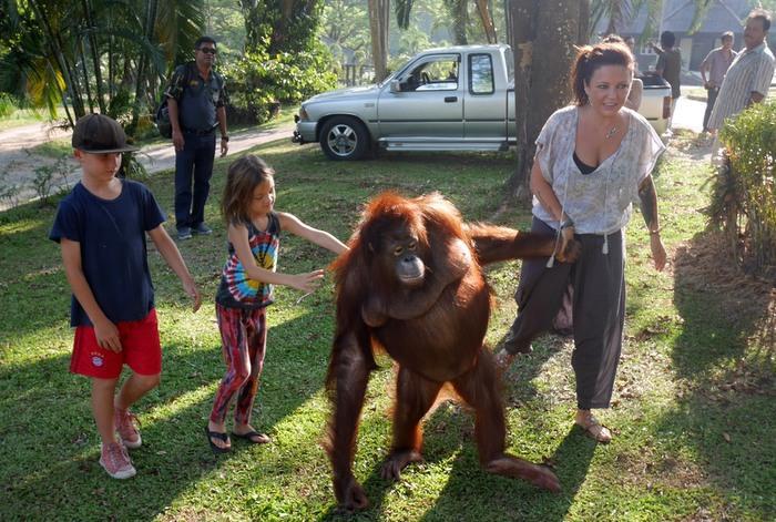 Milo the orangutan dies after stroke | The Thaiger
