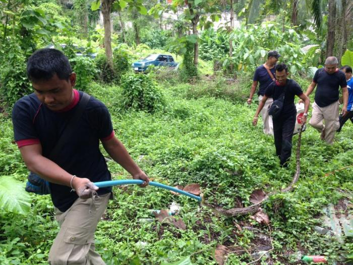 Hungry python captured near Patong school | The Thaiger