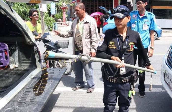 Poisonous snake stops Phuket motorist in his tracks   The Thaiger
