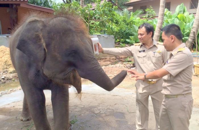 Quarantine for baby elephant found on Bangtao Beach | The Thaiger