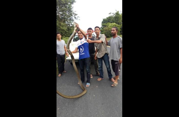 Self-taught snake catcher nabs five-meter-long king cobra | The Thaiger