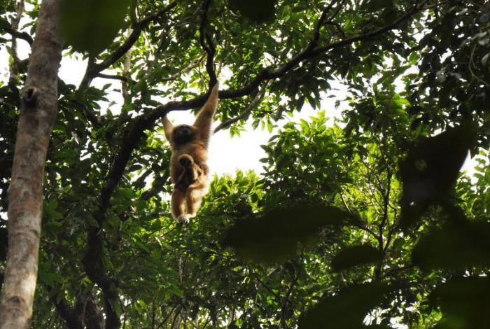 Born to be wild: Baby gibbons repopulating Phuket | The Thaiger