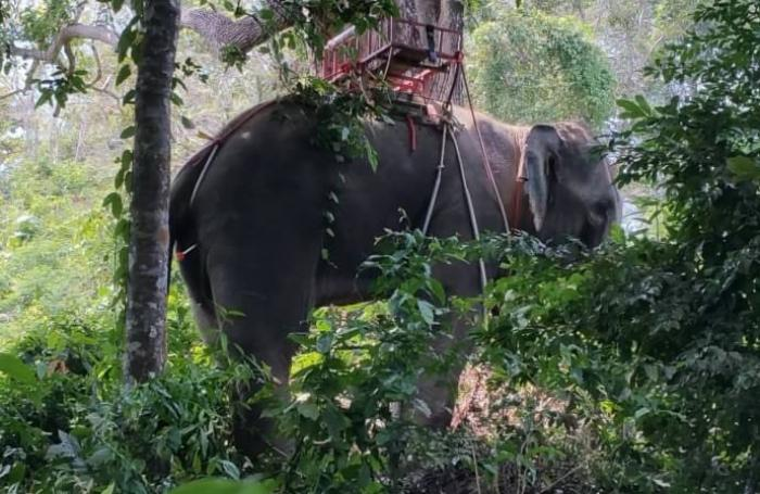 Panicked Phuket elephant rampages into forest | The Thaiger