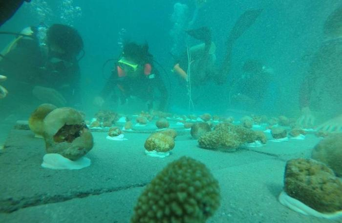DMCR continues coral growing initiatives off Phuket | The Thaiger