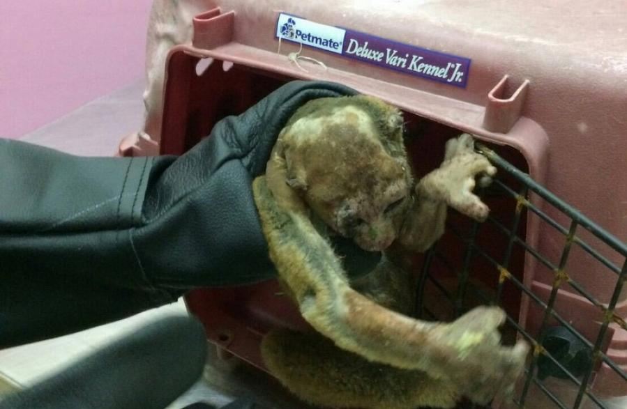 Slow loris recovering from electrocution in Phuket | The Thaiger