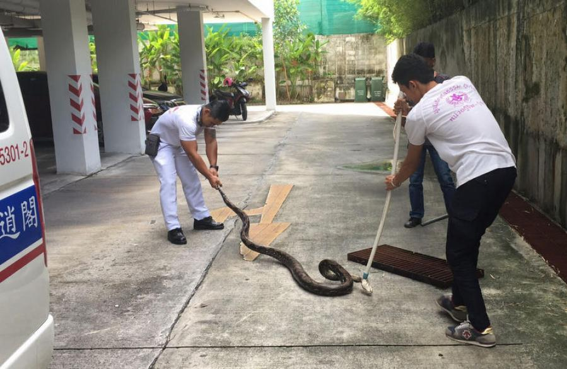 Three-meter python found in Phuket apartment building | The Thaiger