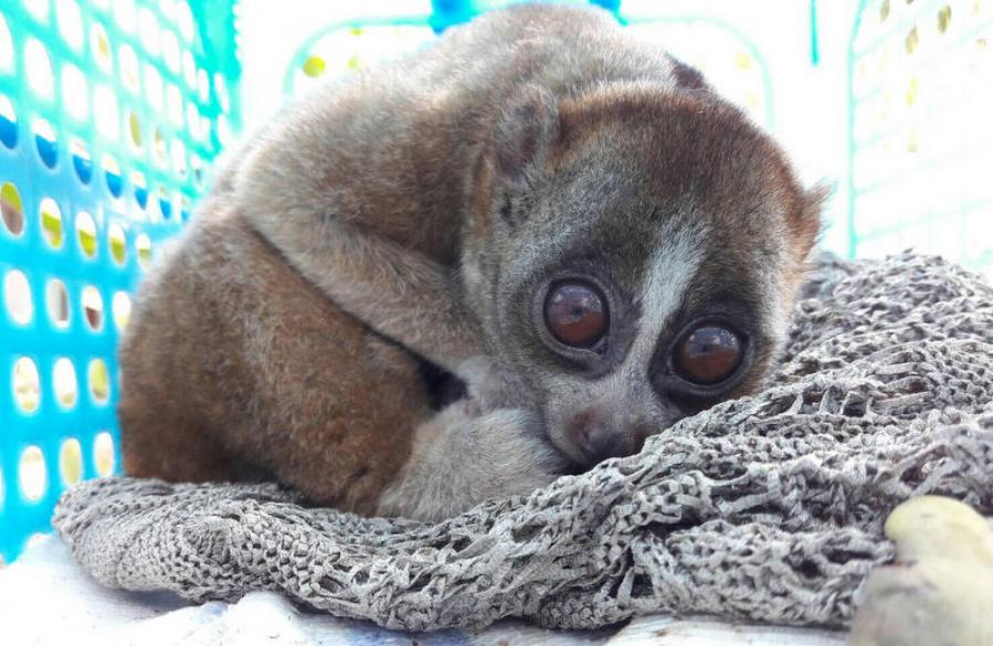 Slow loris released back into the wild | The Thaiger