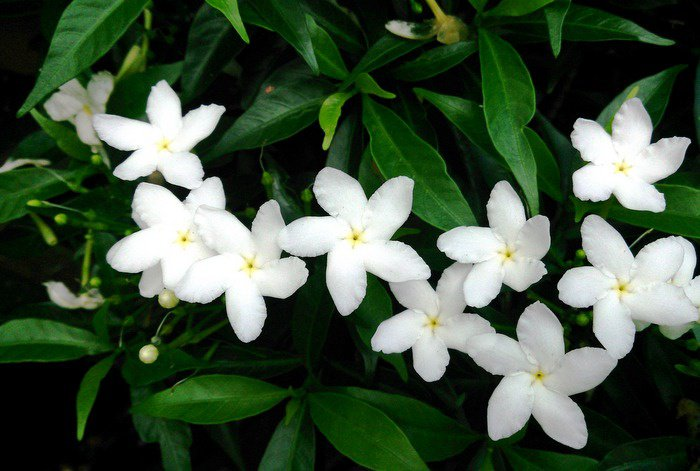 Gardening: A shrub with no enemies – allamandas | Thaiger