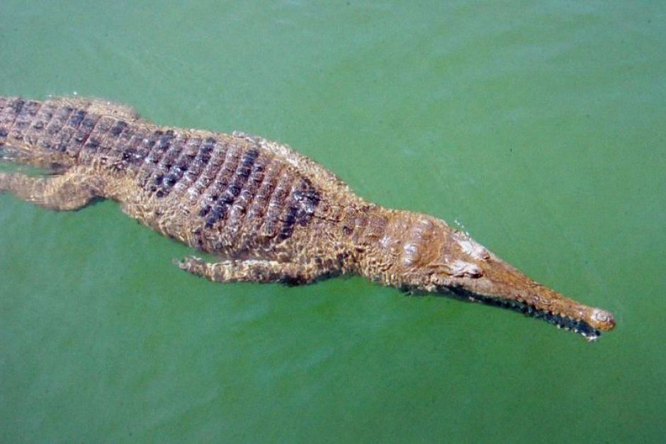 """""""It's a freshwater crocodile"""". The latest from the Fisheries Office Chief 