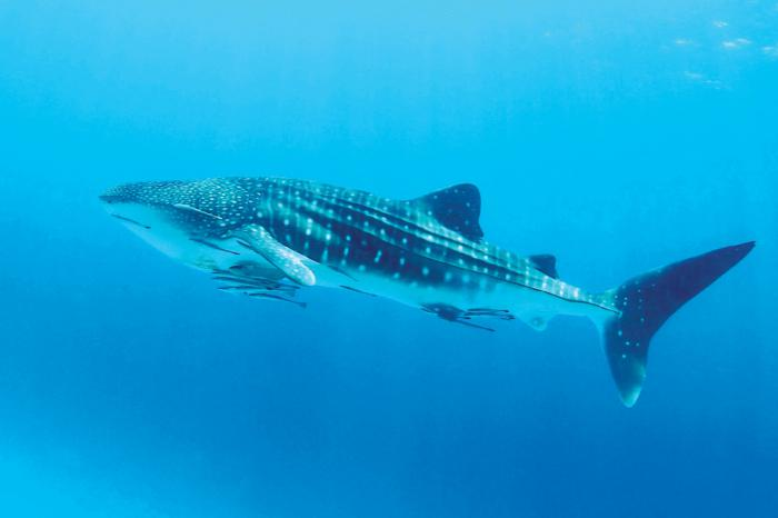 Whale shark and manta ray sightings abound in waters north of Phuket | The Thaiger