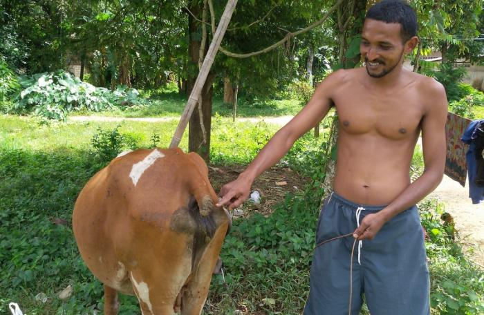 Krabi thief chops off cow's tail | The Thaiger