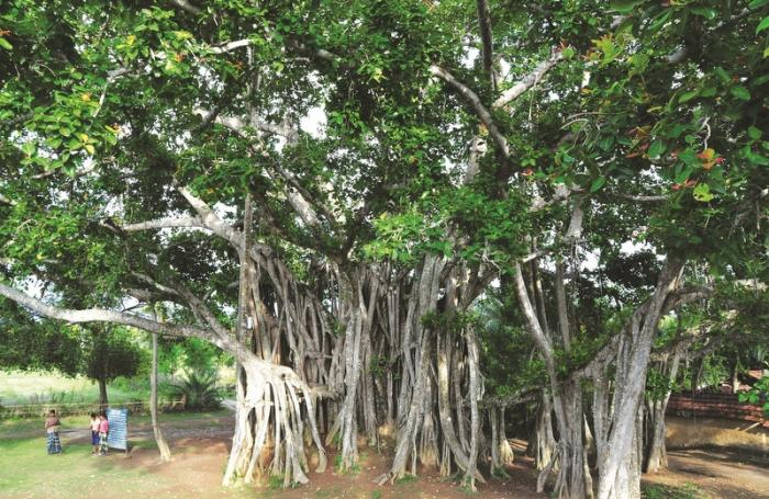 Gardening: Learning to prune banyan trees | The Thaiger