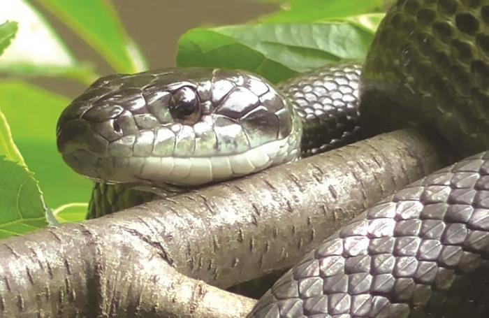 SNAKES! But not all snakes are deadly, most aren't | The Thaiger