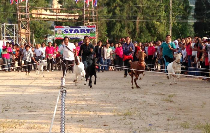 Video Report: Goats go for gold | Thaiger
