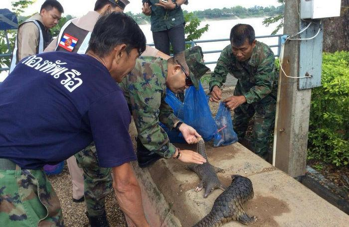 Raid leaves one pangolin smuggler dead, two arrested | The Thaiger