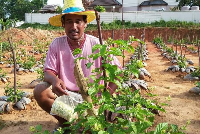 Krabi man grows cash crop in backyard | The Thaiger