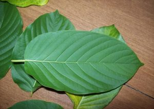 The newest energy drink? 'Kratom'   News by Thaiger