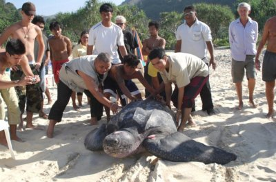 Leatherback lays eggs at Karon Beach | The Thaiger