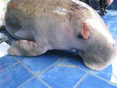 A bad week for dwindling dugong population | The Thaiger