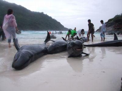 Disoriented false killer whales beach on Koh Racha | The Thaiger
