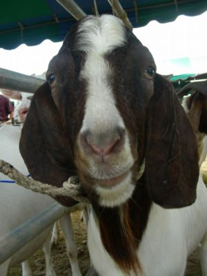 Goat beauties open agricultural fair | The Thaiger