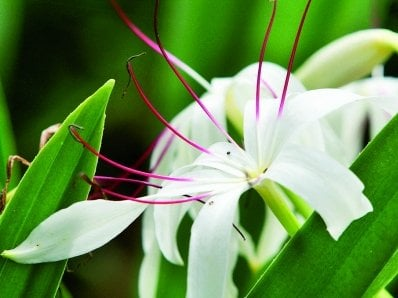 Phuket Gardening: Little lily love in the tropics | The Thaiger
