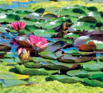 Phuket Gardening – still waters run deep | The Thaiger