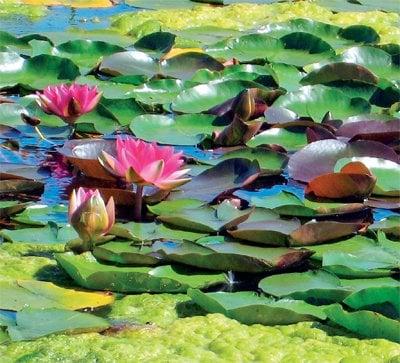 Phuket Gardening – still waters run deep | The Thaiger